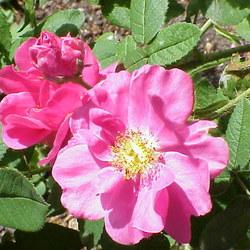 Essig-Rose