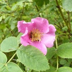 Zimt-Rose