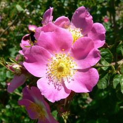 Wein-Rose