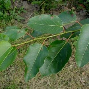 Haarfrüchtige Balsam-Pappel
