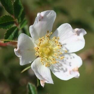 Feld-Rose