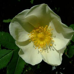 Bibernell-Rose