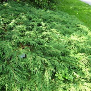 Zwerg-Lebensbaum