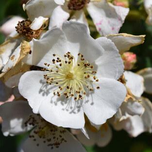 Rose Vielblütige