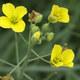 Wilde Rauke - Diplotaxis tenuifolia