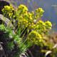 Immergrünes Felsenblümchen
