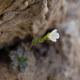 Eis-Felsenblümchen