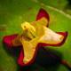 Alpen-Sockenblume