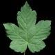 Berg-Ahorn - Acer pseudoplatanus