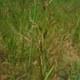 Rotes Straußgras - Agrostis capillaris