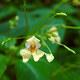 Kleines Springkraut - Impatiens parviflora