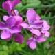 Einjähriges Silberblatt - Lunaria annua