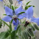 Borretsch - Borago officinalis