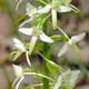 Weiße Waldhyazinthe