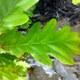 Stiel-Eiche - Quercus robur