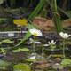 Spreizender Wasser-Hahnenfuß