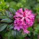 Bewimperte Alpenrose