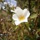 Tannen-Rose