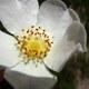 Keilblättrige Rose