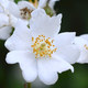 Kleinblütige Rose