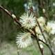 Spitzblättrige Weide