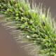Grüne Borstenhirse