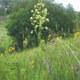 Schmalblättrige Wiesenraute
