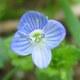 Efeu-Ehrenpreis - Veronica hederifolia
