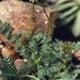 Blaugraues Stachelnüsschen