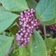 Schönfrucht