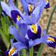 Kleine Netzblatt-Iris