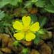 Frühlings-Fingerkraut - Potentilla neumannia