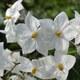 Weißblühender Nachtschatten