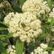 Immergrüner Großblatt Schneeball