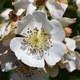 Rose Vielblütige - Rosa multiflora