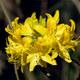 Pontische Alpenrose