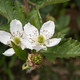 Armenische Brombeere - Rubus armeniacus