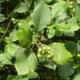Kordigast-Mehlbeere
