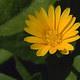Acker-Ringelblume