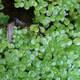 Teich-Wasserstern