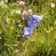 Rautenblättrige Glockenblume