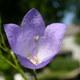 Gewöhnliche Rundblättrige Glockenblume - Campanula rotundifolia