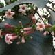 Roter Chinarindenbaum