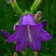 Sibirische Glockenblume