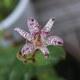 Japanische Krötenlilie