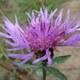 Wiesen Flockenblume