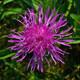 Wiesen Flockenblume - Centaurea jacea