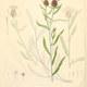 Kleinfedrige Flockenblume