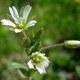 Gewöhnliches Hornkraut - Cerastium holosteoides