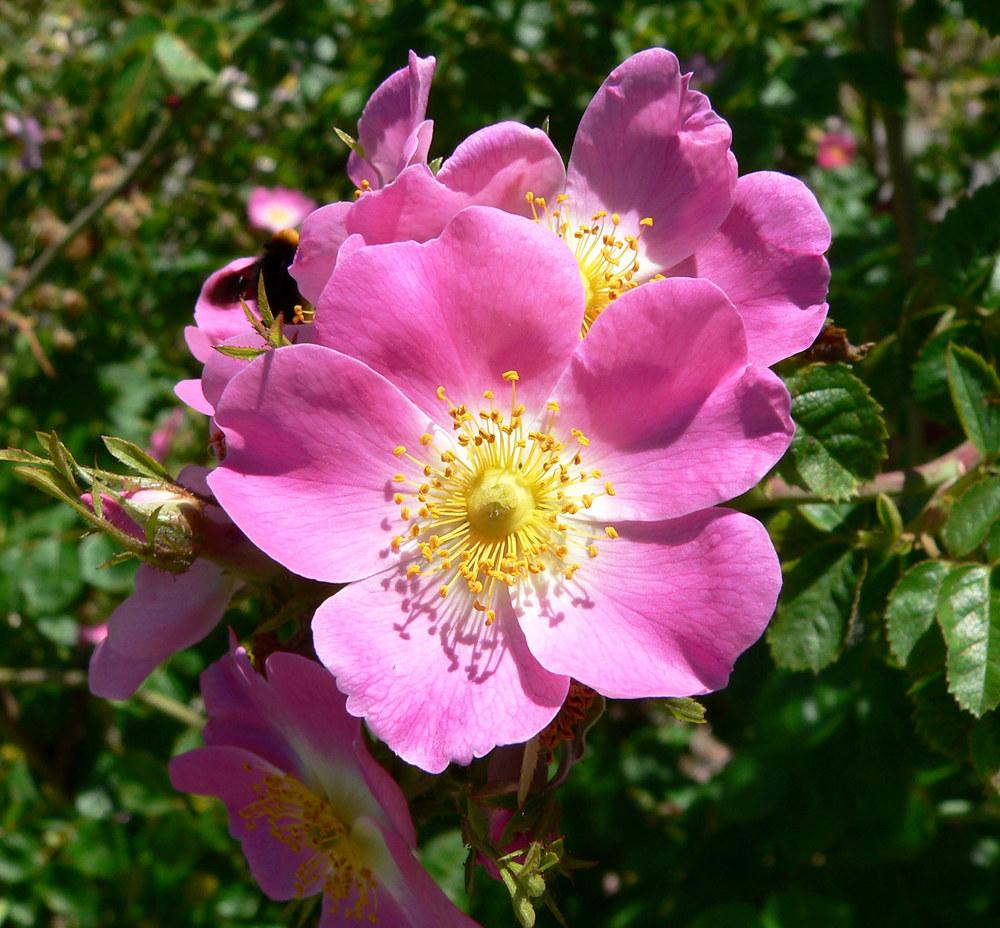 rosa rubiginosa wein rose pflanzen in deutschland. Black Bedroom Furniture Sets. Home Design Ideas